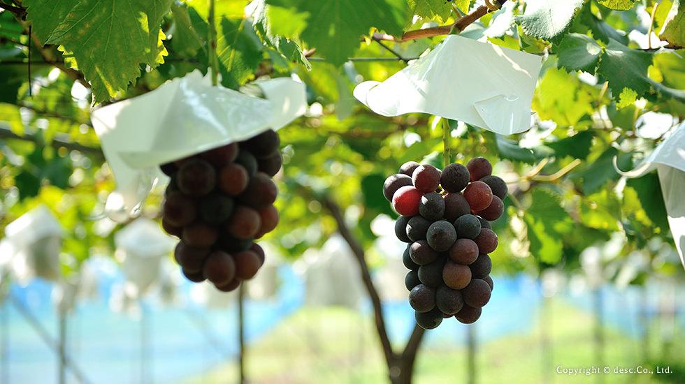 ingredient-grape-img3